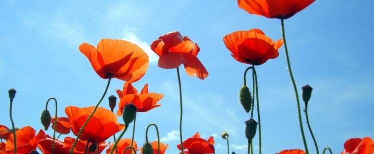 Blue Flora Poppy Blossom Summer Flowers Red Sky